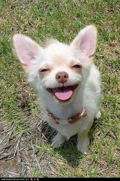 smiling-chihuahua-24