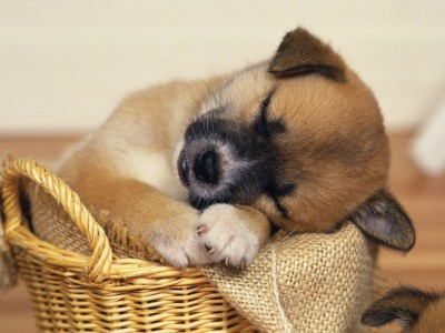 sleeping_puppy