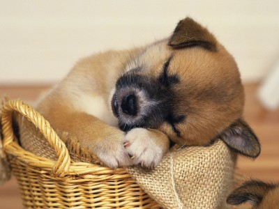 Sleeping-Puppy