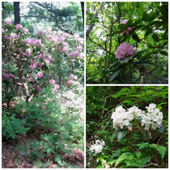 rhododendron-mtnlaurel